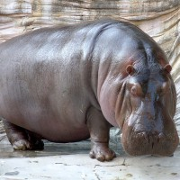 Hippopotamidae's picture