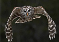barredowl's picture