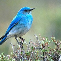 Bluebird11's picture
