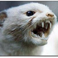 whitestoat