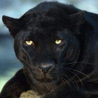 BlackLeopard-1
