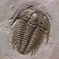 Trilobite_King