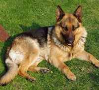 GERMANSHEPHERD421
