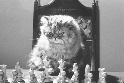 chessshirecat