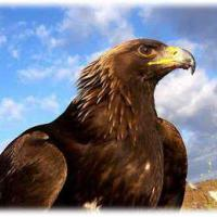Golden_Eagle_777