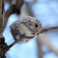flying-squirrel