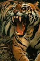 TigerchessT