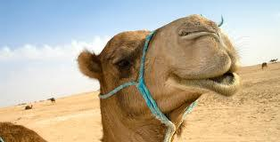 The_Camel