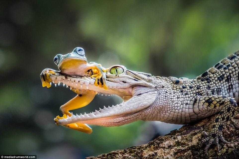 Image result for crocodile frog