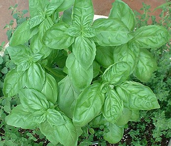 http://weblogs.baltimoresun.com/features/gardening/basil1.jpg