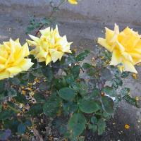 Best Roses living in the Cemetery Land