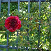 The Rose bushes have thorns