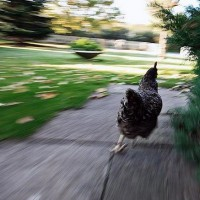 Running_Chicken