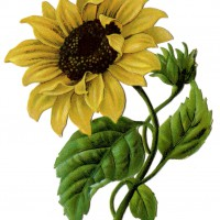 Sunflower20