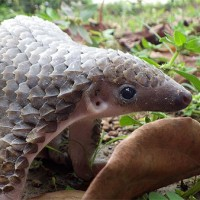 Pangolin_Puppy