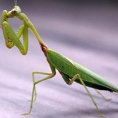 Mantis-Technique