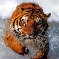 Tiger-Warrior's picture