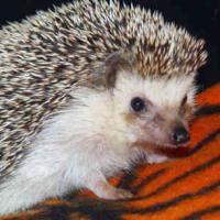 Hedgehog, Bishop and Knight..