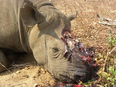 Rhino suffering