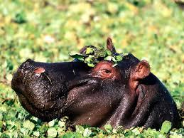 Hippopotamus Defence