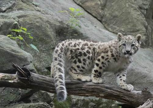 Snow Leopards - another endangered specie