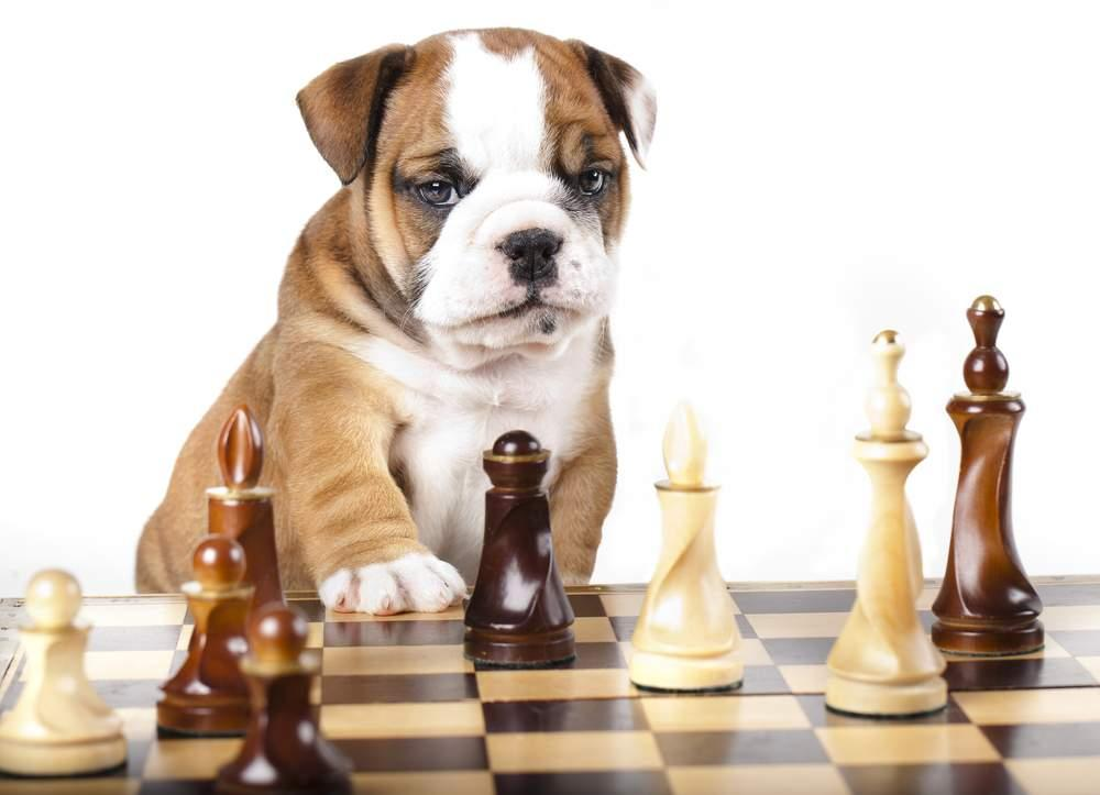 Chess And Pets Gm Sergey Shipov Chess Com