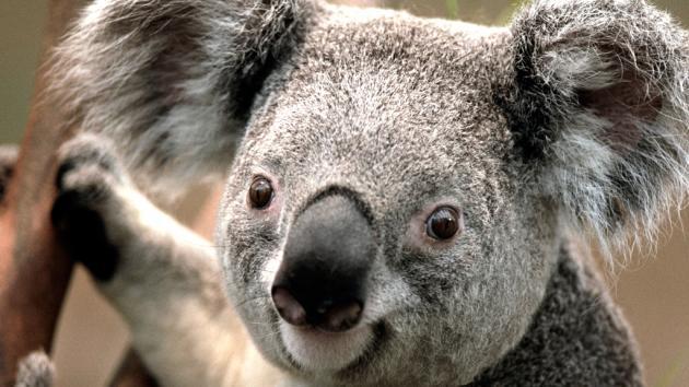Black King is like a Koala