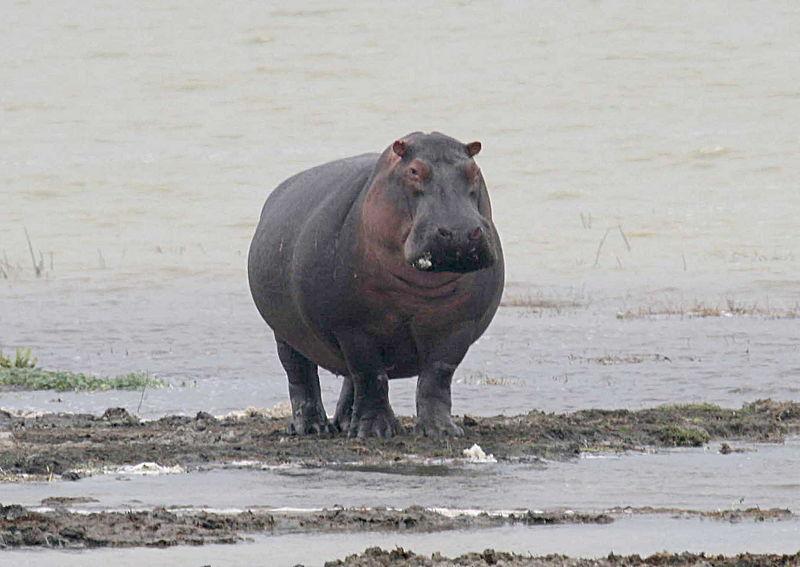 La defensa hipopótamo. Partida magistral de Ruslan Ponomariov