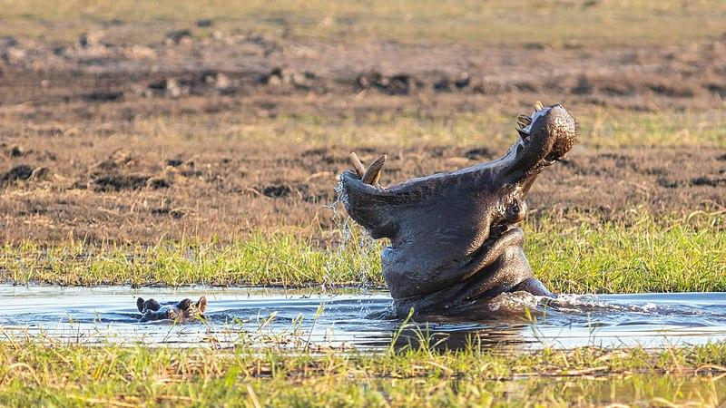 Por favor, no moleste al hipopótamo