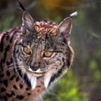 Non-Chess Lynx