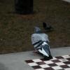 mendicant pigeons