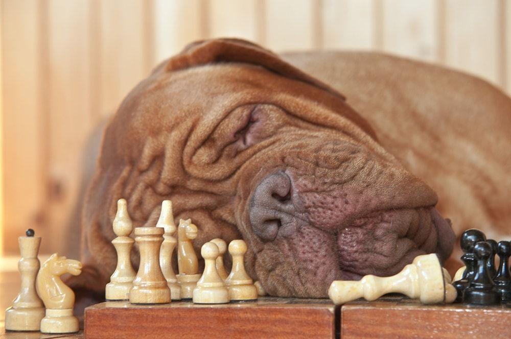 Perro jugando ajedrez