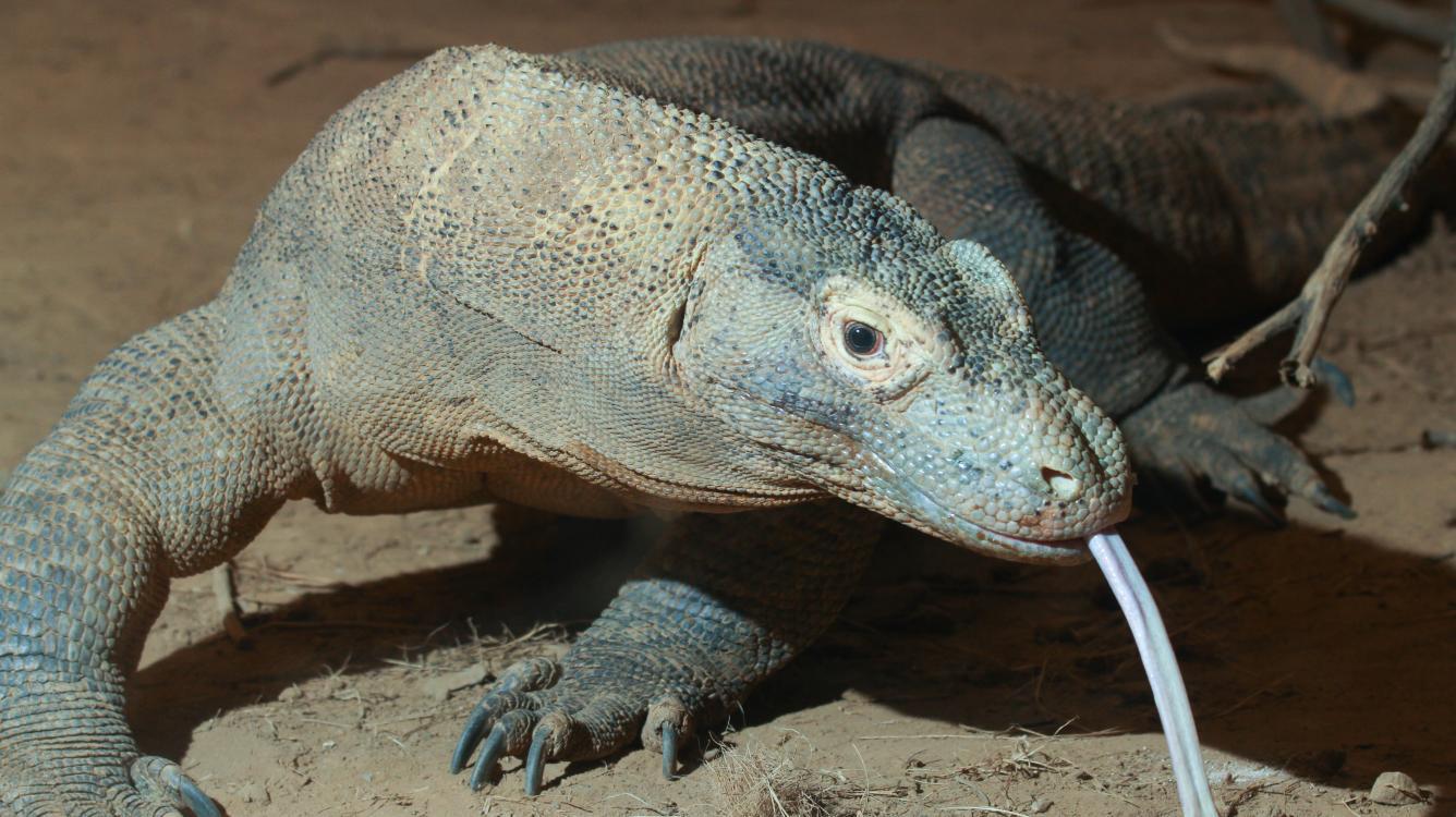 Komodo Defies Odds vs Mikhalevski