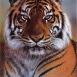 TigerPM52
