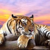 TigerMan73