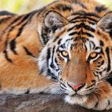 Playful_Tiger