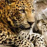 Panthercat9