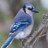 bluejay66