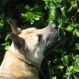 corkiethedog
