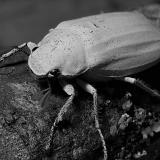 Whitescarab