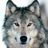 Makswolf200817