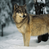 crywolf63