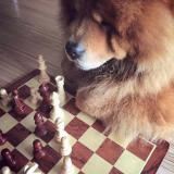 chessfatbear