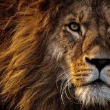 Lion_of_Atlas