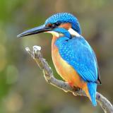 Kingfisher_35