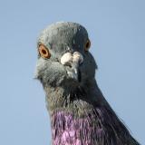 PigeonGuy12