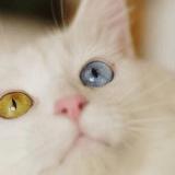 Odd-eyecat