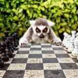 ring-tailed_lemur
