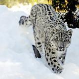 Maxileopard