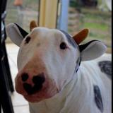 Bull_Terrier_Team
